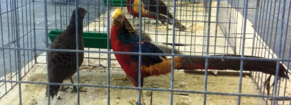 Concurso Nacional de Avicultura Artística durante Fimascota en el pabellón 1