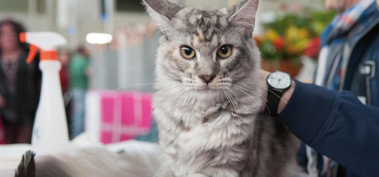 Valladolid está considerada la segunda cita felina más numerosa de las celebradas en España
