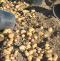 Jornada sobre el futuro del cultivo de la patata el lunes 29 de enero en la Feria de Valladolid
